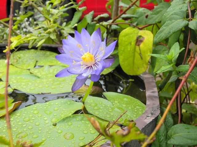 ギガンティア開花