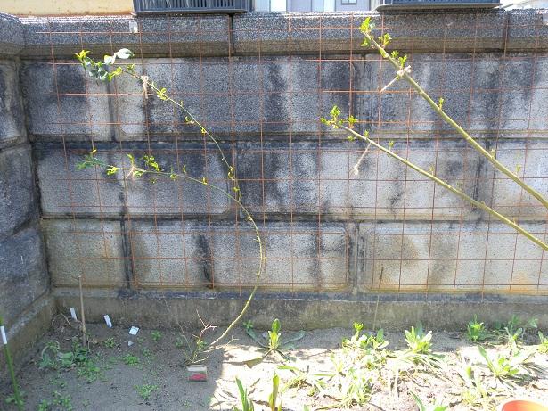 塀に誘引したバラ